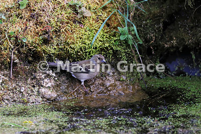 Common Chaffinch (Fringilla coelebs) female at the endge of the garden pond, Lake District National Park, Cumbria, England
