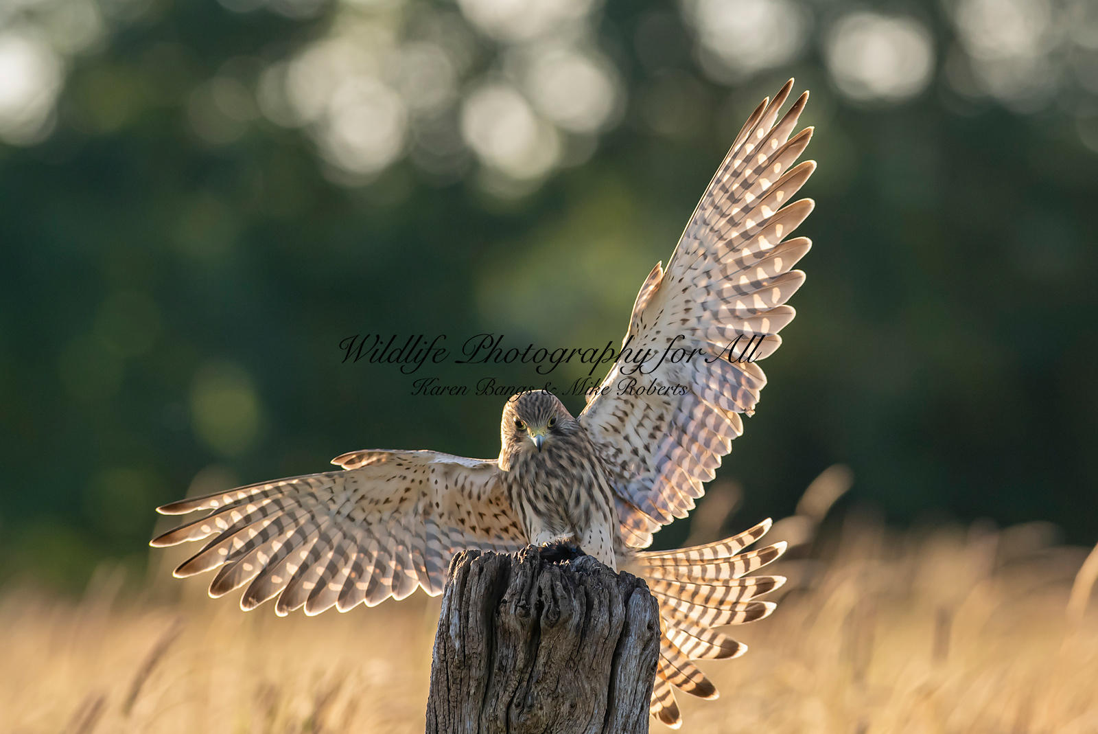 Juvinille female Kestrel - Mike Roberts