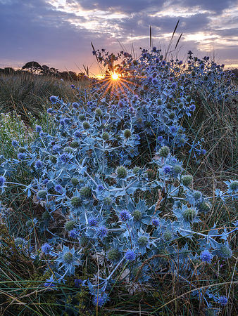 Sunstar_with_Sea_Holly