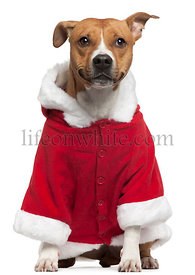American Staffordshire Terrier wearing Santa outfit, 3 years old, sitting in front of white background