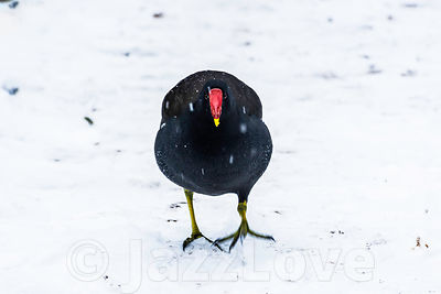 Moorhen walking on snow.