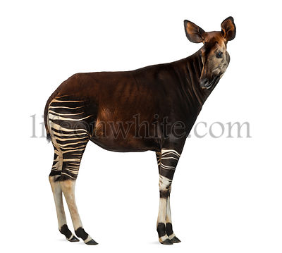 Side view of an Okapi looking back, Okapia johnstoni, isolated on white