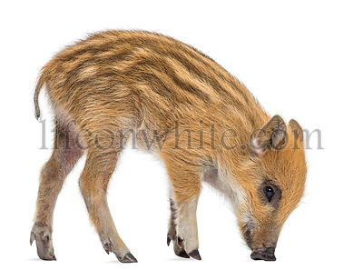 Wild boar, Sus scrofa, also known as wild pig, 2 months old,standing and looking down, isolated on white