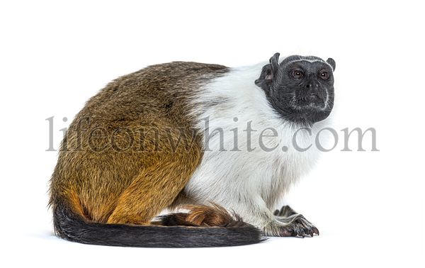 Pied tamarin, Saguinus bicolor, isolated on white