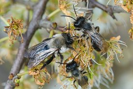 Closeup of a of 2 males and 1 female grey-backed mining bee, Andrena vaga, on blackthorn, Prunus spinosa