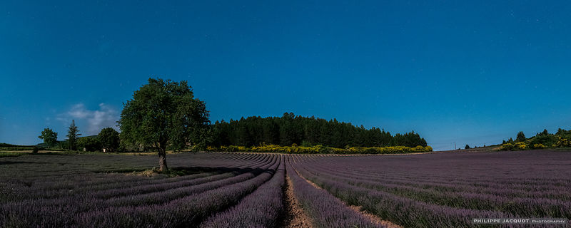 Lavander under the full moon - Aurel - Vaucluse