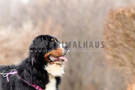 Profile of a happy Bernese Mountain Dog in winter