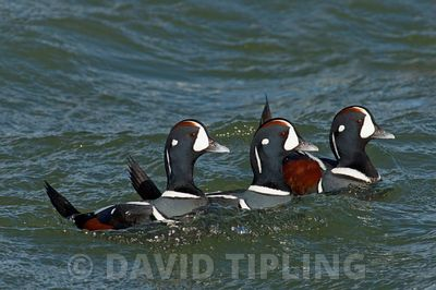 Harlequin Duck Histrionicus histrionicus New Jersey USA winter