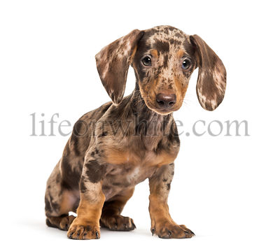 Dachshund, sausage dog, 4 months olds, sitting in front of white background