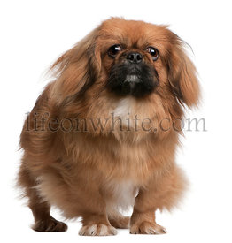 Pekingese, 8 months old, standing in front of white background