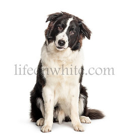 Sitting Australian Shepherd dog, isolated on white