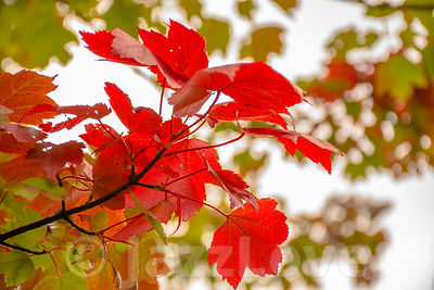 Red maple leaves on tree branch in autumn coloured forest.