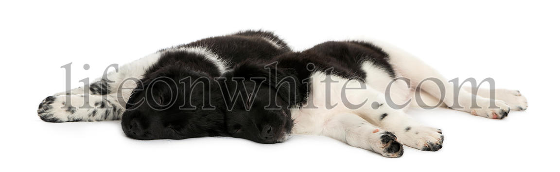 Stabyhoun puppies lying down together, resting, isolated on white
