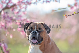 head shot of smiling boxer in front of pink trees