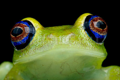 Green bright-eyed frog (Boophis viridis)