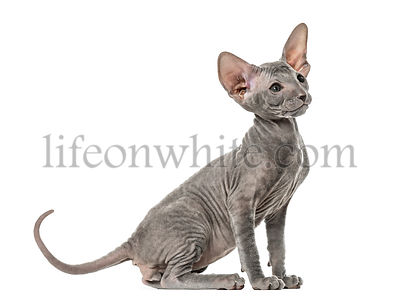 Peterbald kitten, cat, sitting, isolated on white