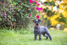 Schnauzer standing in a park amongst the flowers