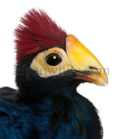 Close-up of Violet Turaco, Musophaga violacea, in front of white background