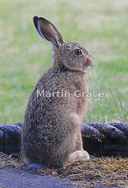 Young European Brown Hare (Lepus europaeus), Lake District National Park, Cumbria, England