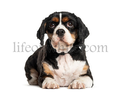 Puppy Cavalier King Charles lying down in front of a white background