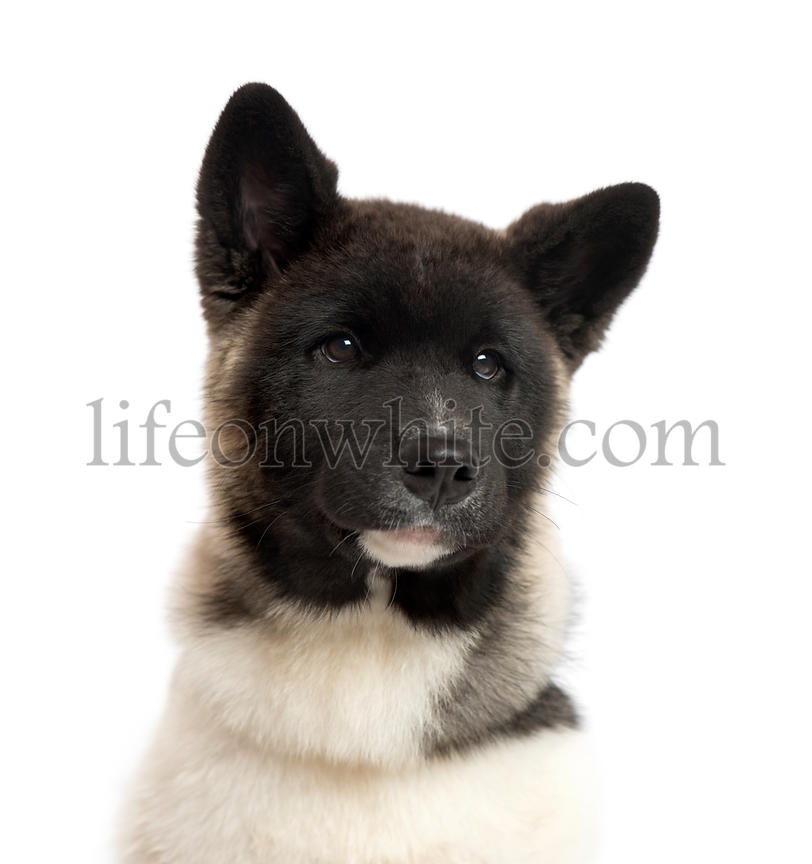 Close up of an American Akita puppy, isolated on white
