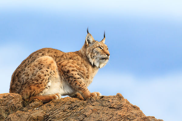 Lynx On The Lookout I