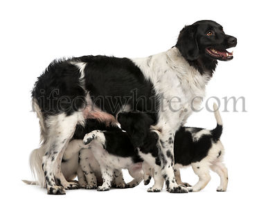 Stabyhoun Mom breastfeeding her puppies, isolated on white