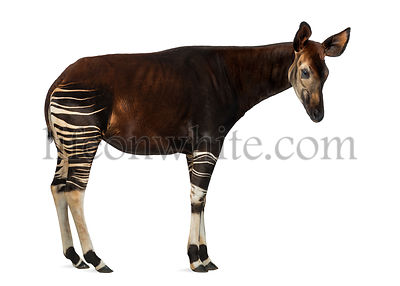 Side view of an Okapi standing, Okapia johnstoni, isolated on white