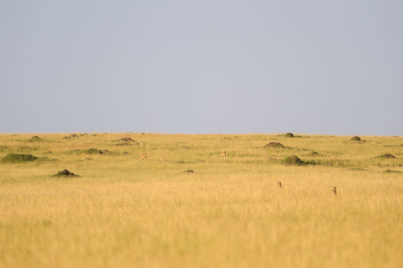 Imapalas and Cheetah in the distance
