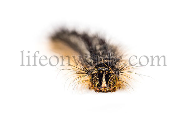 Front view of the Caterpillar of a Lymantria dispar, the gypsy moth against a white background