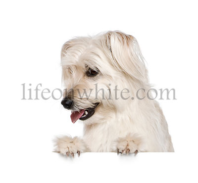 Pyrenean Shepherd, 2 years old,  in front of white background