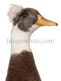Close-up headshot of Male Crested Duck, 3 years old, in front of white background