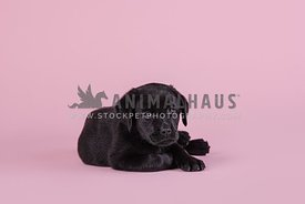 young black lab puppy laying on pink paper in the studio
