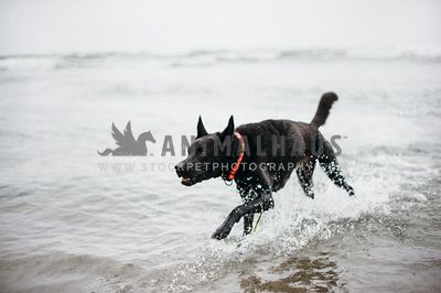 Black dog running through shallow water