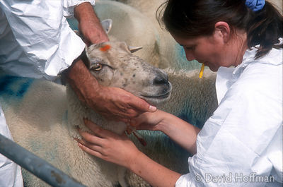 Sheep being tested for foot and mouth disease