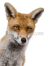Close-up headshot of Red Fox, 1 year old