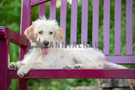 young gangly doodle puppy laying on brightly colored bench