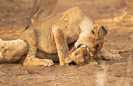 Play-Fighting Lion Cubs, Erindi Game Reserve