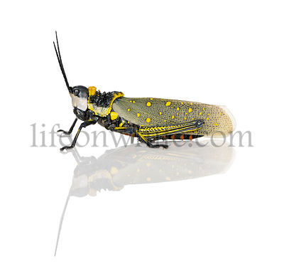 Side view of male Malaysian locust, aurlarches milliaris, against white background, studio shot