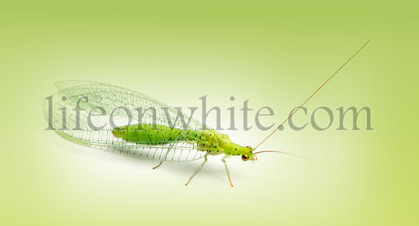 Common green lacewing, Chrysoperla carnea, on a green gradient background