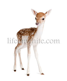 Fallow Deer Fawn, Dama dama, 5 days old, studio shot