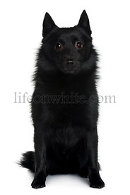 Schipperke dog sitting in front of white background