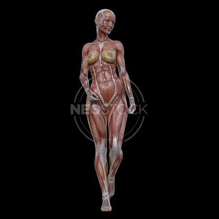 cg-body-pack-female-muscle-map-neostock-27