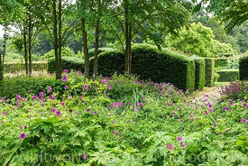 Geranium psilostemon in the Katsura Grove- Cercidiphyllum japonicum - and clipped undulating Yew hedges - Taxus baccata -  at...
