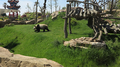 Panda-Zooparc-de-Beauval_Mir-Photo-ADT41_(1)
