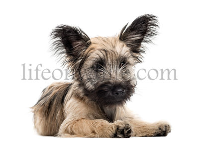 Skye Terrier dog lying down isolated on white