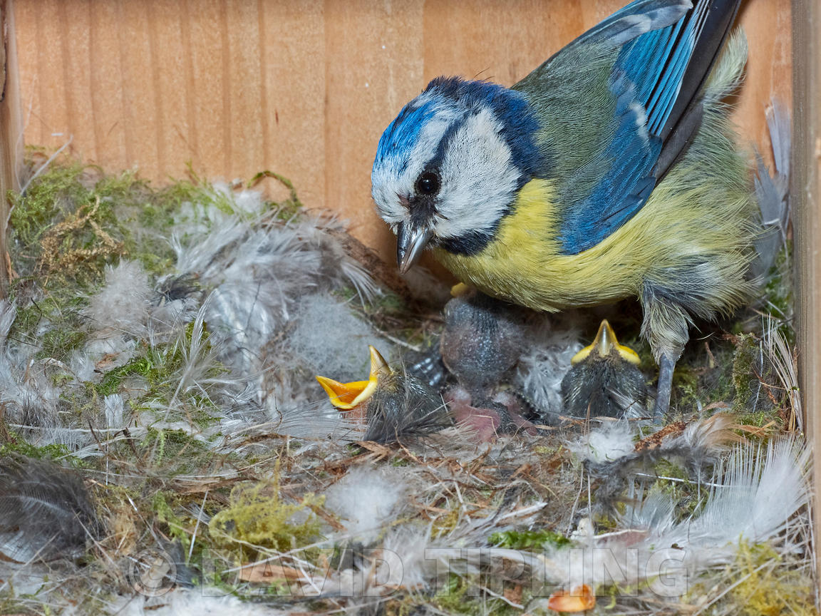 Blue Tit Cyanistes caeruleus feeding young in nest box in garden Norfolk UK