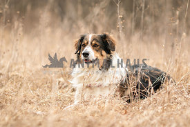 An English shepherd laying in winter grass