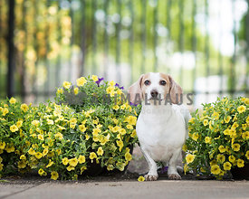 Dachshund with tan and white markings peeks out of a row of yellow flowers in the park