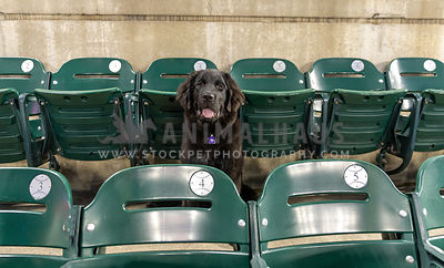 A black newfoundland puppy sitting in a row of stadium seats
